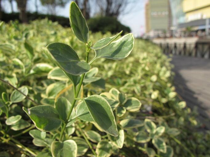 花叶常春藤怎么养 常春藤怎么养殖
