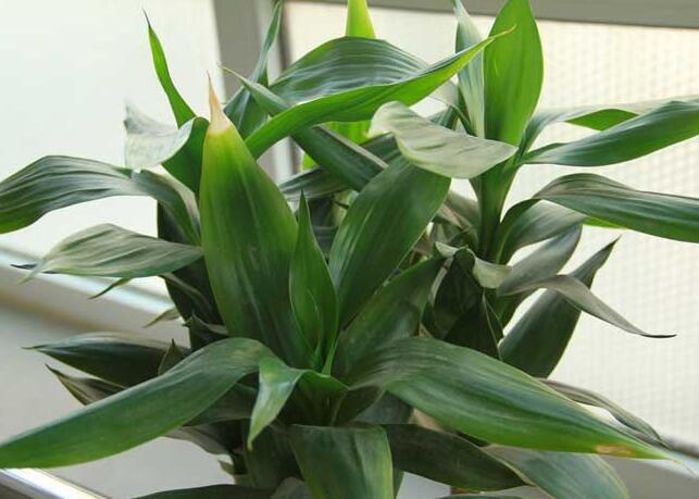 水养富贵竹怎么养比较好