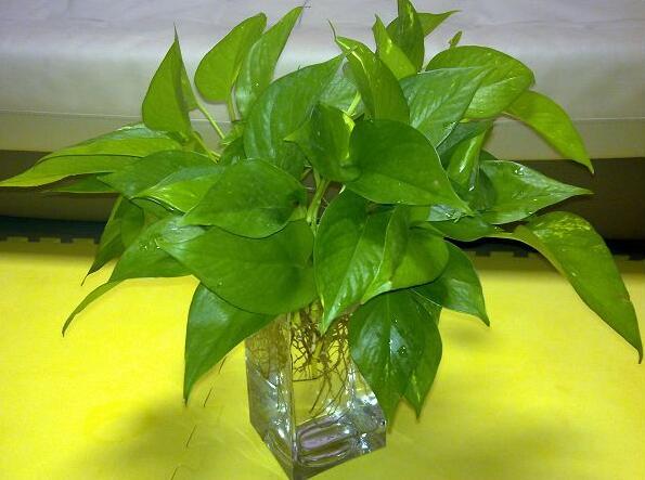 水培绿萝怎么养 水培绿萝的养殖方法