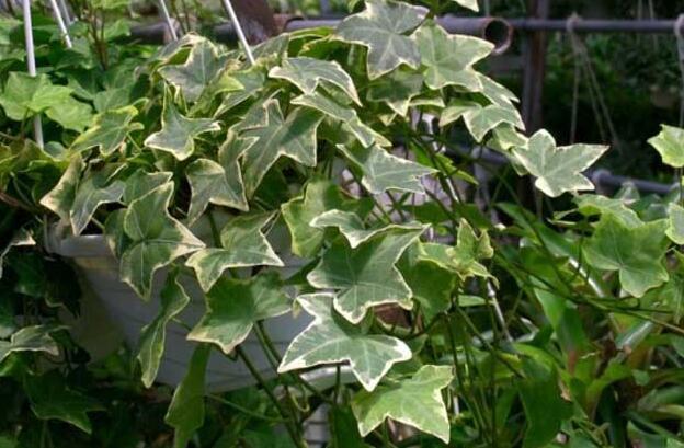 银边常春藤怎么养 常春藤的养殖技巧