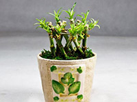 室内养富贵竹的作用是什么