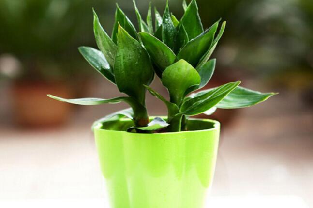 富贵竹怎么水养 富贵竹的养殖方法