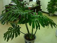 龟背竹有毒吗 龟背竹的养殖方法