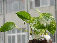 水培绿萝的养殖方法有哪些