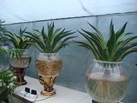 水培吊兰的养殖方法和注意事项