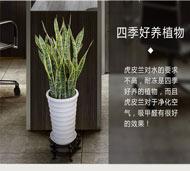 防电脑辐射的植物虎皮兰繁殖方法 防电脑辐射的植物虎皮兰生长习性