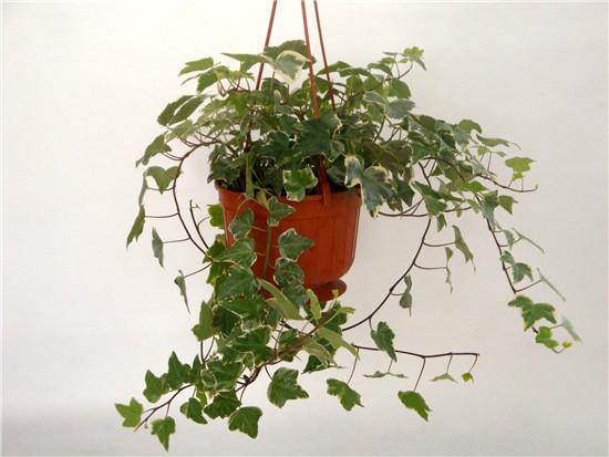 常春藤的功效与作用   常春藤的作用是什么