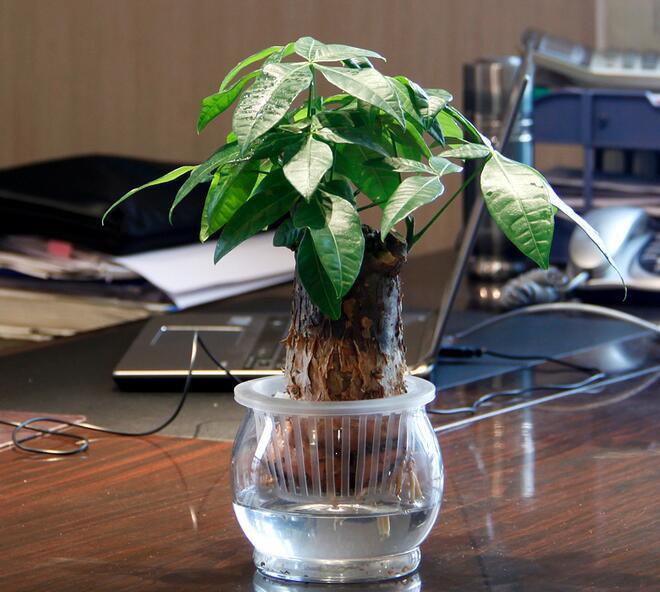 发财树的养殖方法和注意事项