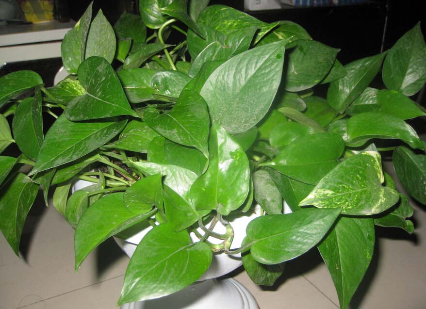 植物绿萝的作用 绿萝的作用有哪些