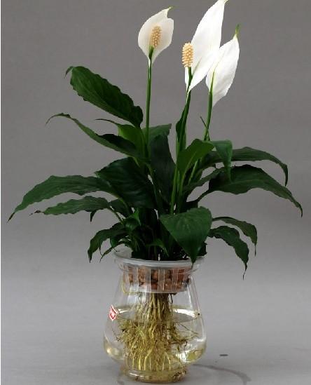 室内水培植物可以净化空气又有益健康