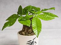 盆栽发财树怎么养 盆栽发财树如何养殖