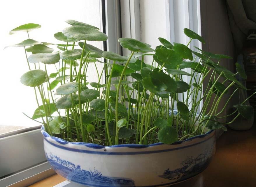 土培绿萝怎么养 土培绿萝的养殖方法