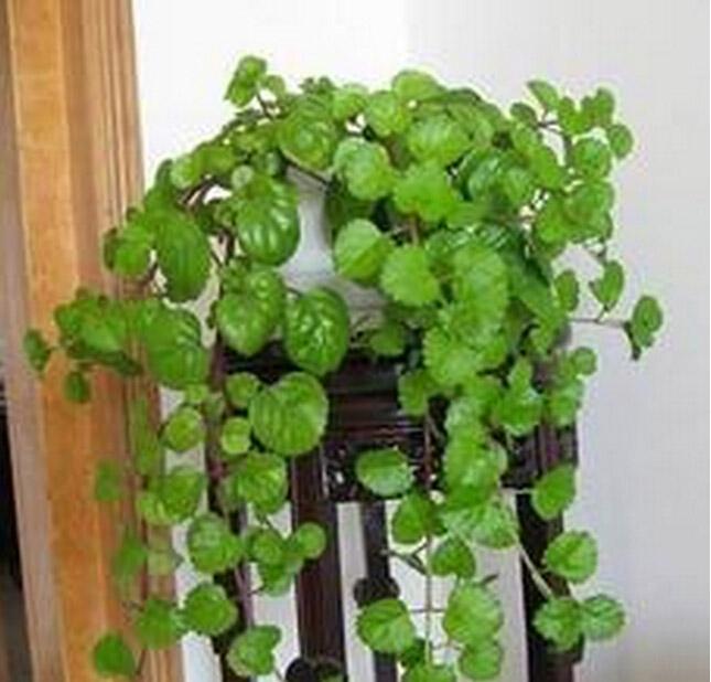 常春藤怎么浇水 常春藤怎么养