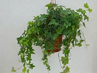 瑞典常春藤怎么养