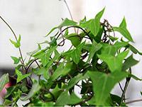 秋天常春藤怎么养比较好呢