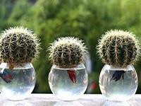 仙人球怎么养开花