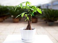 发财树怎么种植