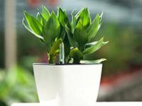 水培富贵竹的作用?