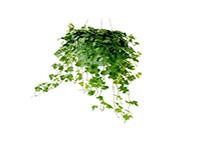 瑞典常春藤作用是什么?