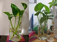 花卉绿萝的作用是什么