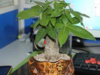小盆栽发财树怎么养