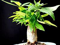 盆栽发财树价格