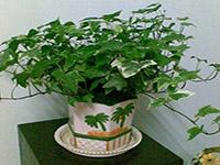 水培常春藤图片及作用