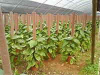 水培绿萝的作用