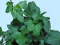 盆栽常春藤图片及作用