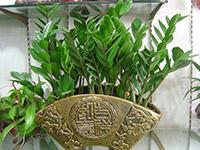 室内植物金钱树图片及作用