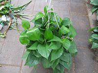 水培绿萝多久换一次水