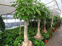 室内发财树怎么养
