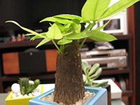 大发财树的养殖方法