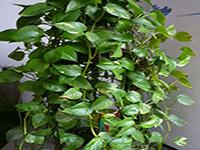 绿萝水培方法