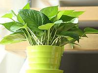 水培绿萝图片及作用分析