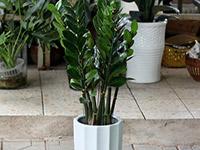植物金钱树图片和欣赏价值