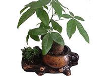 发财树怎么养及图片