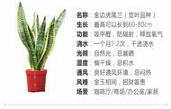 金边虎尾兰的养殖方法和注意事项