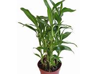 家居风水植物富贵竹好不好