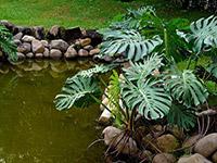 龟背竹图片大全 龟背竹的特点有哪些