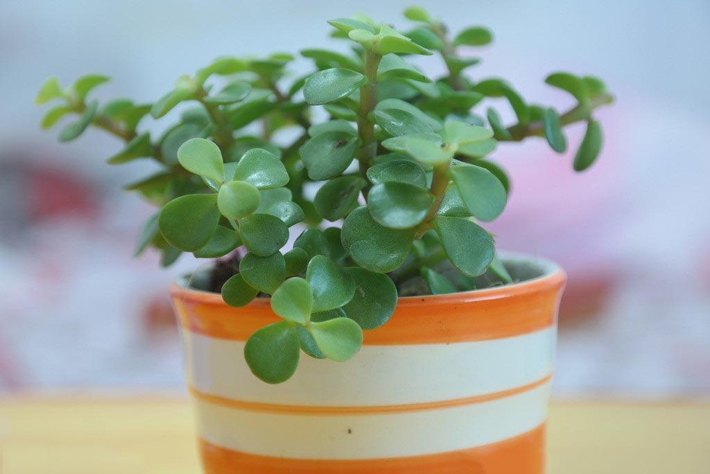 金枝玉叶植物生长习性、寓意和播种繁殖方法