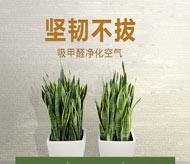 虎尾兰的功效和作用 虎尾兰的作用有哪些