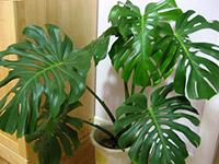 室内花卉龟背竹图片 室内花卉龟背竹的作用