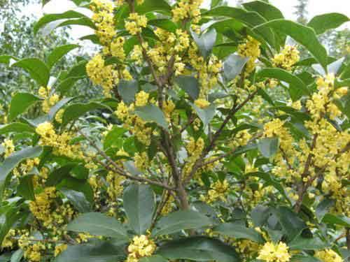 八月桂花树种植技术 八月桂花树怎么养
