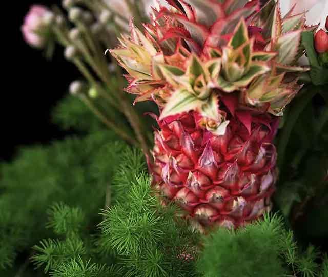 凤梨花的繁殖方法 凤梨花种植方法