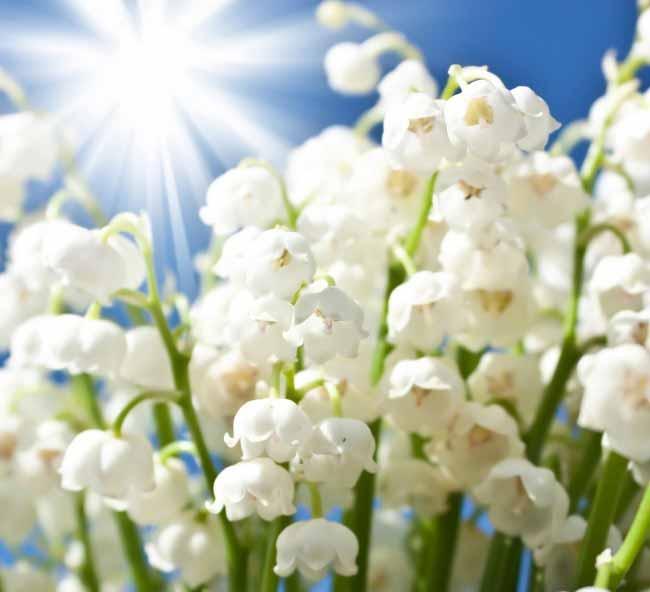 铃兰花的花语 铃兰花的美好寓意是什么