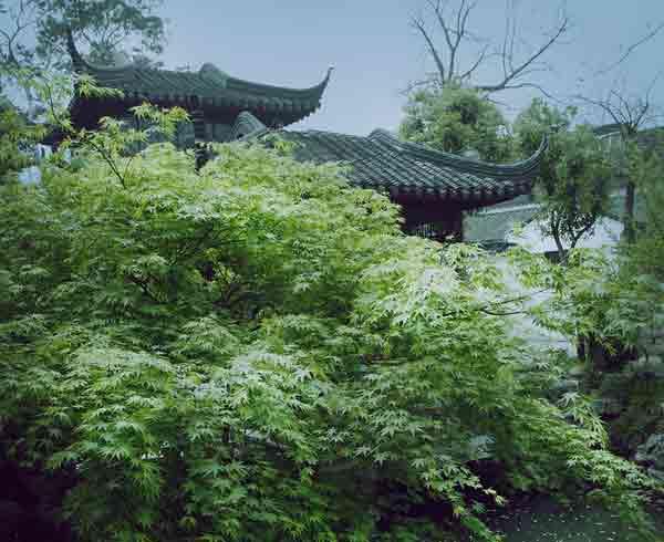 青枫与鸡爪槭的区别 青枫与鸡爪槭如何区分