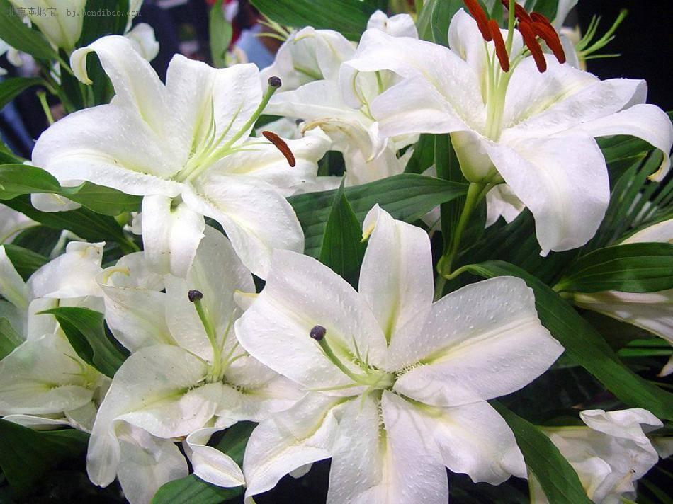 百合花的种植窍门,在家你也可以拥有它