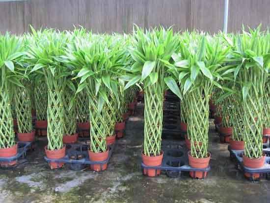 富贵竹怎么土养效果更好?