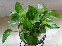 可以防辐射的植物一般有哪些?